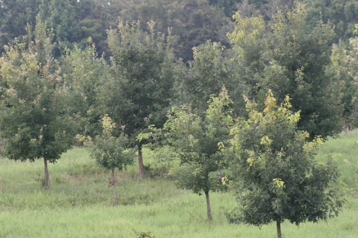 FruitTrees.Cedarleaf