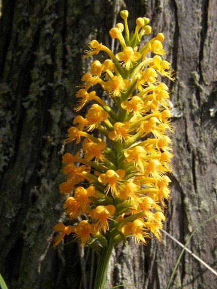 YellowFringedOrchid.Stokes